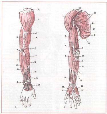 muskeln-von-schulter-arm-und-hand - ars medicina - DesignBlog